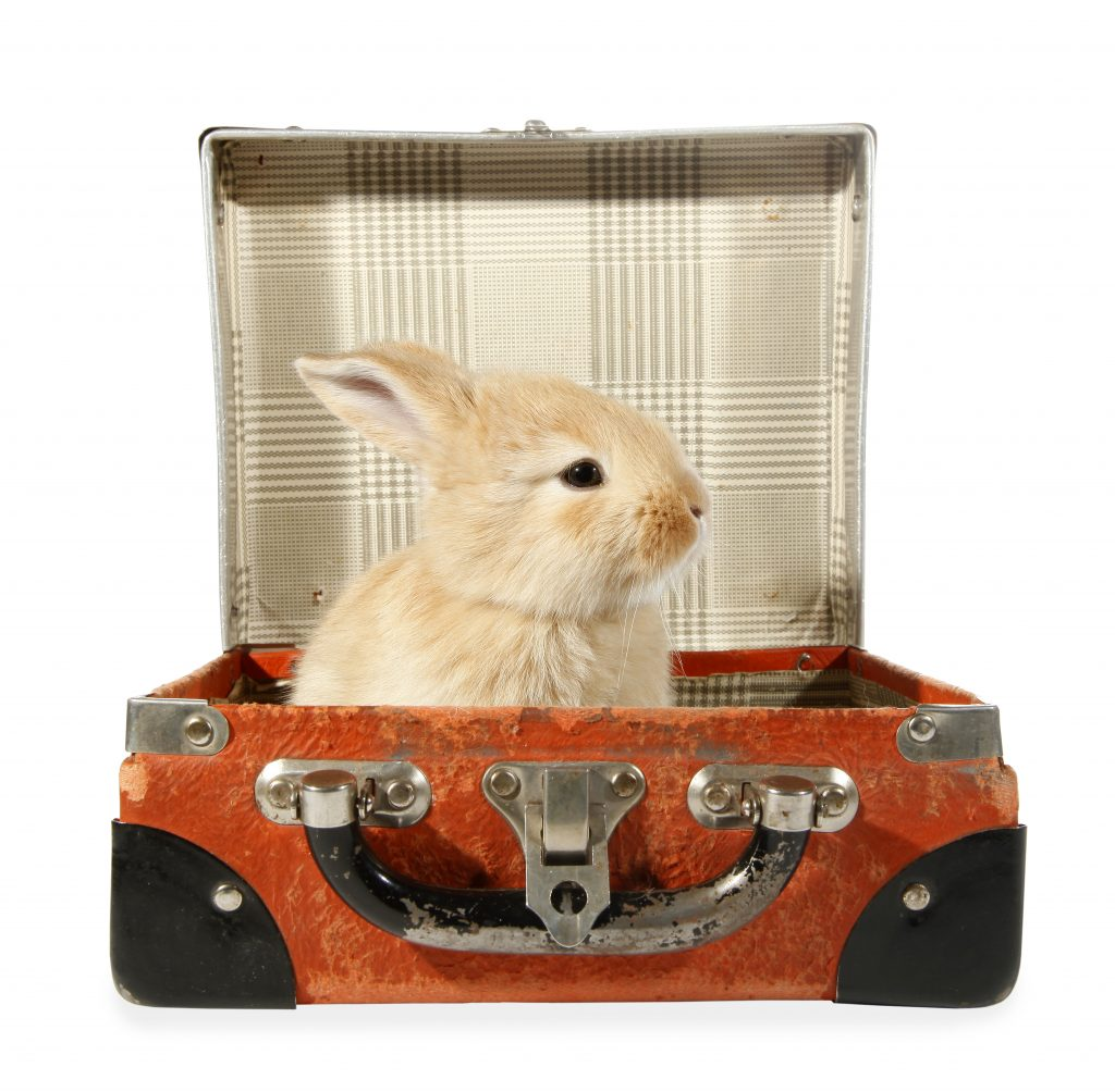 Rabbit baby bunny in old suitcase
